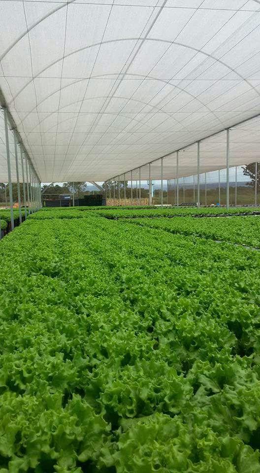 alface-estufa-imgrower
