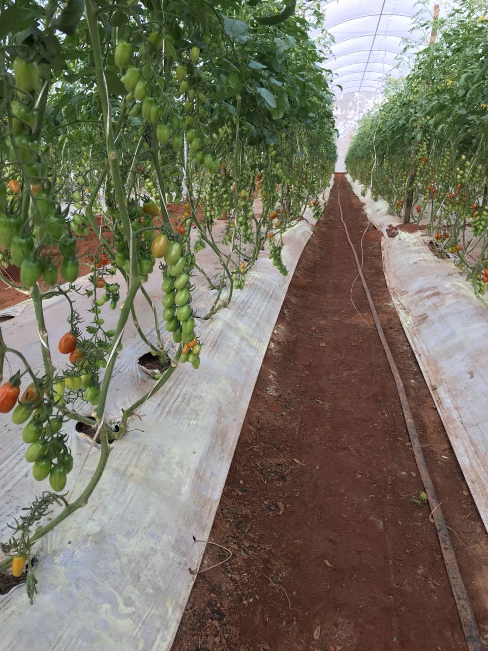 tomate-organico-imgrower